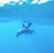 ハワイアンモチーフ イルカ