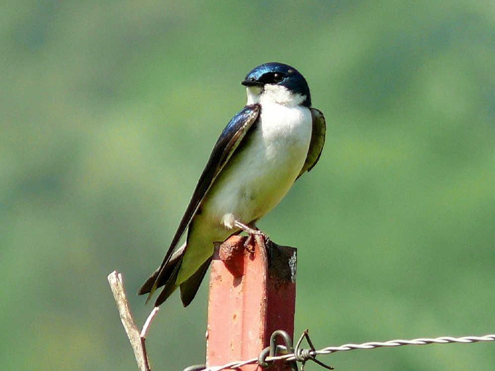 燕は巣作りし、夫婦そろって子育てをする様子から 「長く幸せな家庭を築く」というシンボル