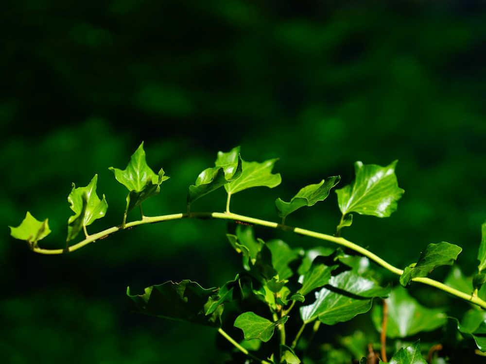 アンティークでよく使用されている蔦は、その伸びていく性質から「縁をつなぐもの」であり、「友情や忠誠の証のシンボル」とされています