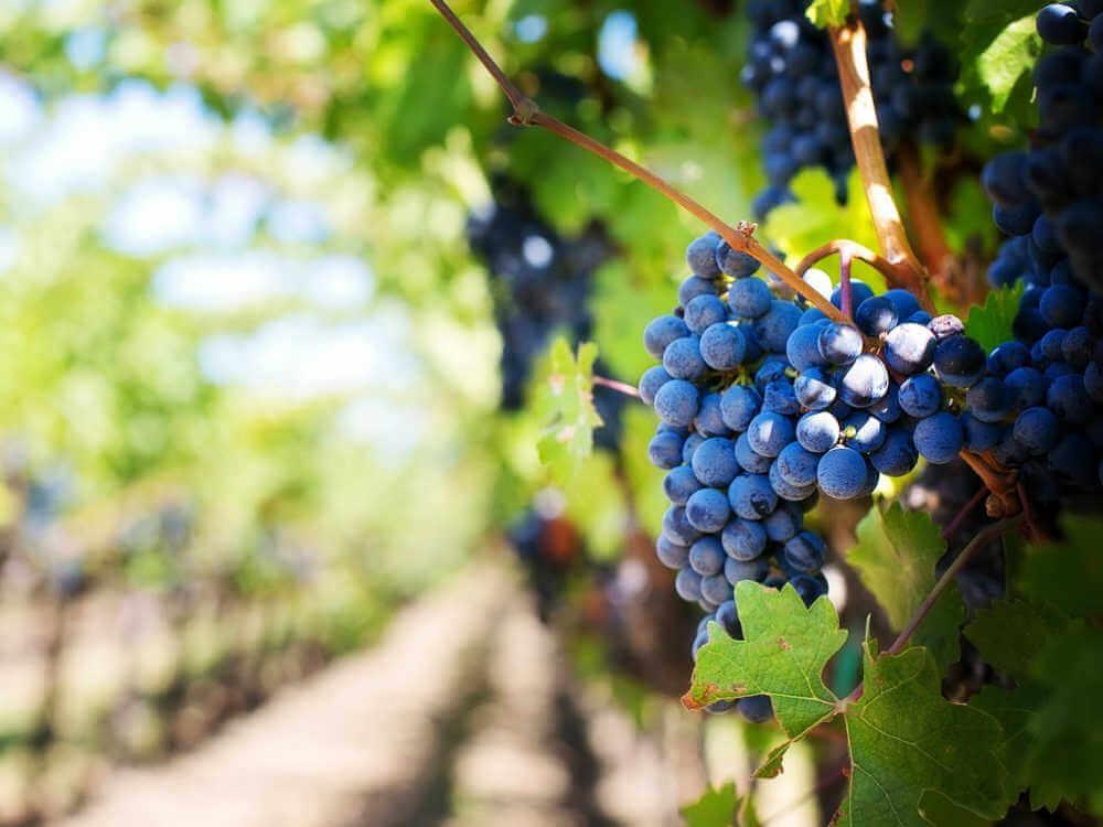 ぶどうが豊作になると農家が潤い、酒蔵が潤い、飲食店や酒屋が潤い、国や人々の生活が潤います